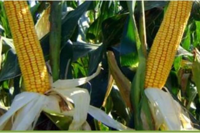 Colonia Caroya cosechó su primer lote de maíz híbrido no transgénico