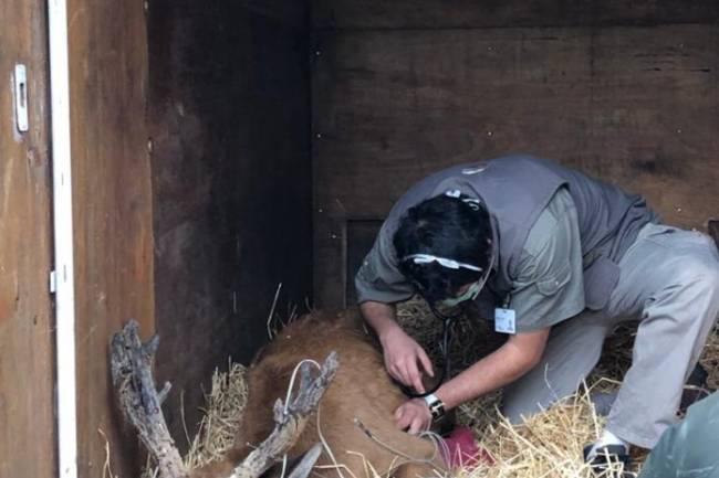 Rescatan un ciervo de los pantanos herido en el delta del Paraná y lo reinsertan en su hábitat