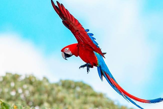 Luego de 170 años, vuelan guacamayos rojos en Corrientes