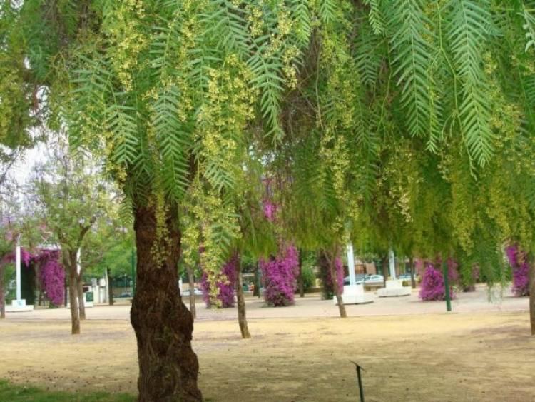 Las maravillosas virtudes medicinales del Aguaribay