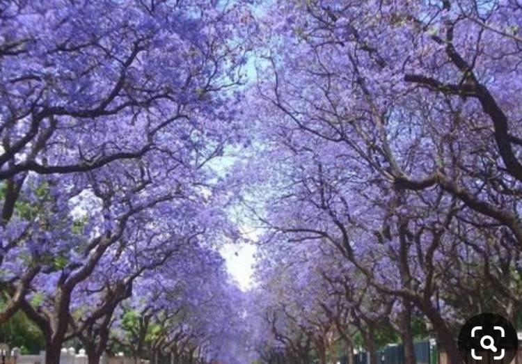 Protegerán a los árboles más notables de la ciudad
