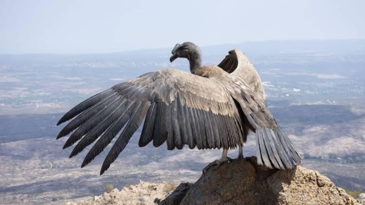 Un cóndor andino vuela nuevamente por el cielo de las Altas Cumbres